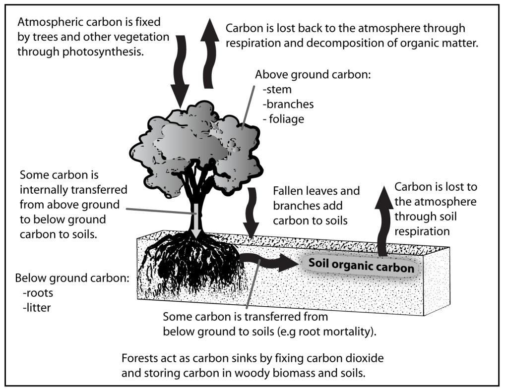carbon sequestration in forests