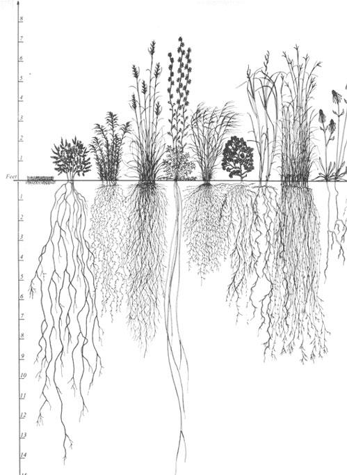 sketch of native prairie plants with deep roots