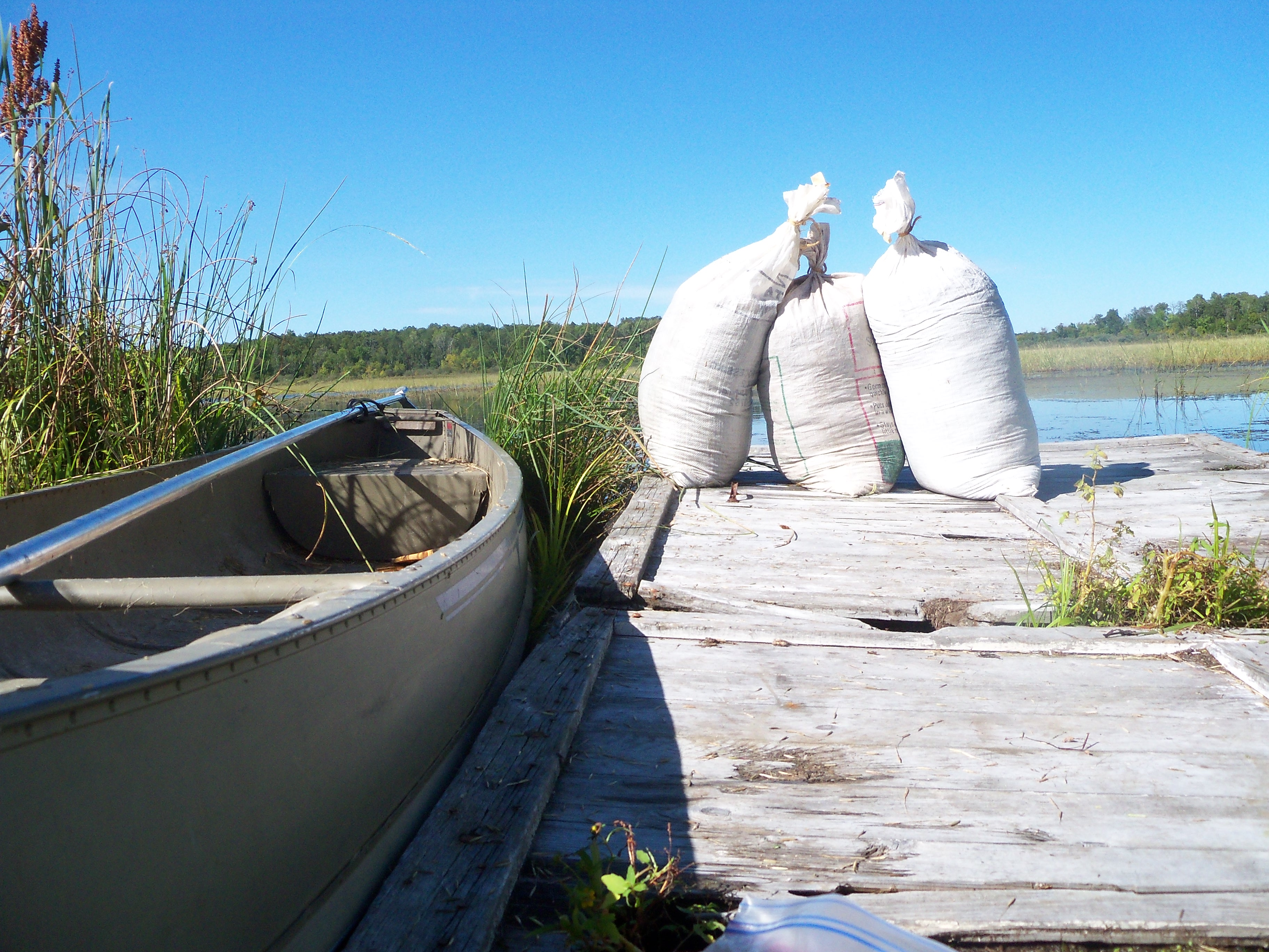 Canoe next to dock with bags of harvested wild rice