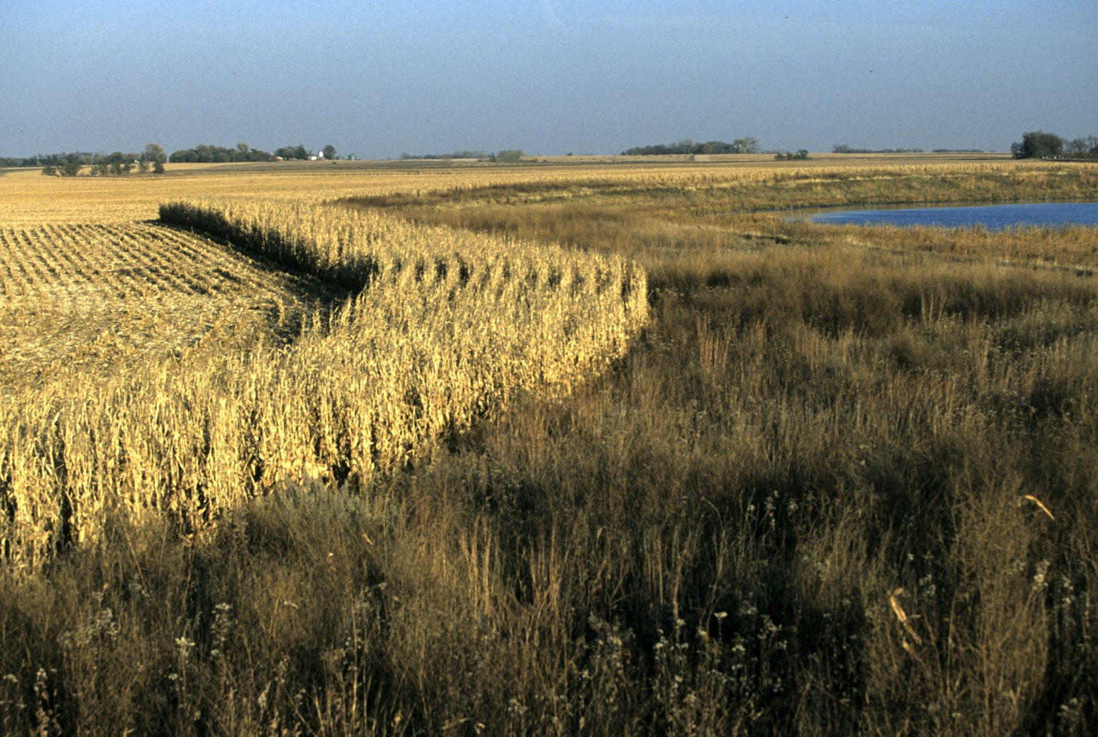 photo of a buffer adjacent to a cornfield