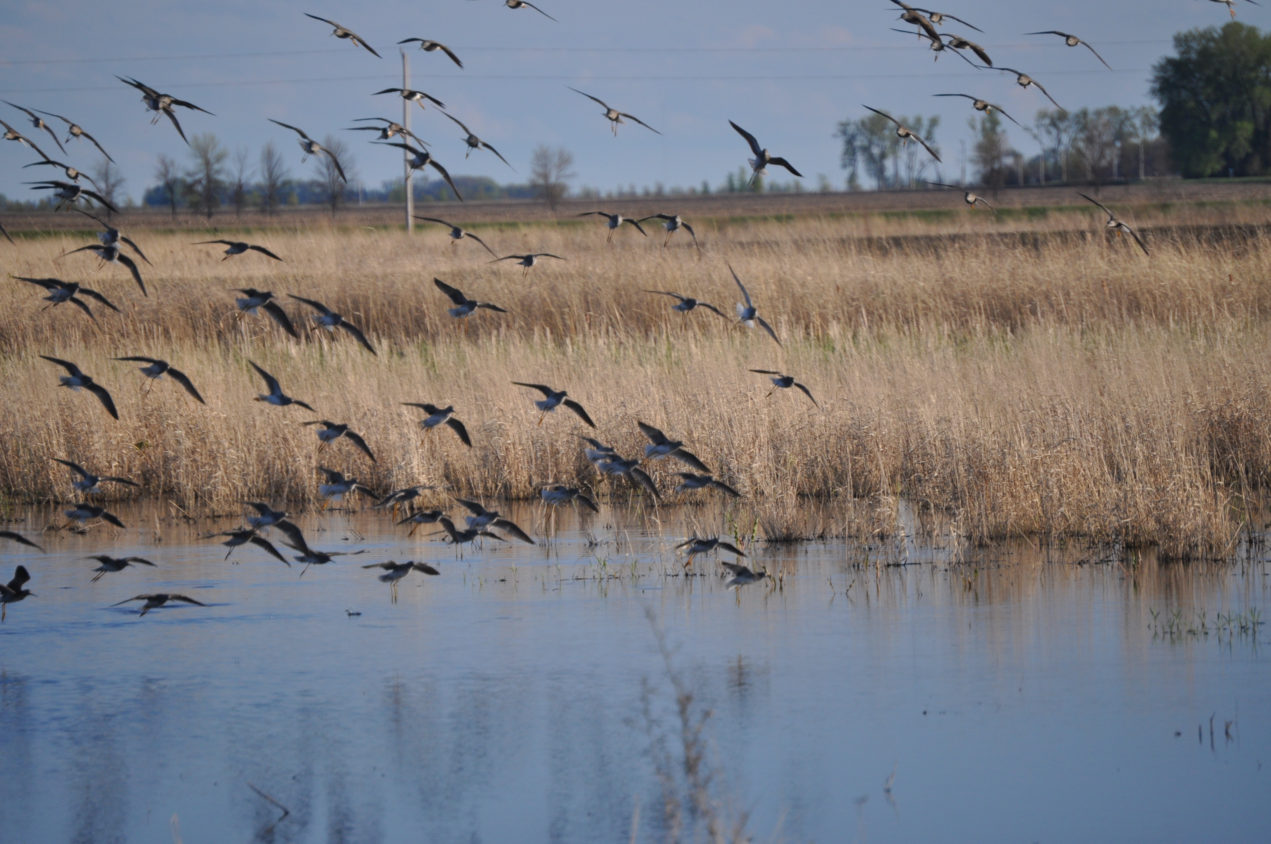 a flock of shorebirds at a wetland restoration easement