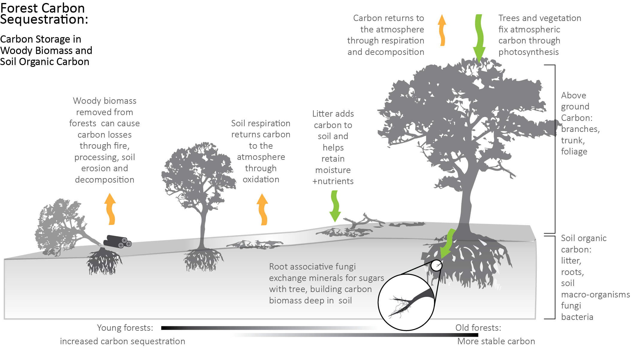 diagram showing how carbon is stored in forest biomass and returned to the atmosphere through fire, harvesting, etc.