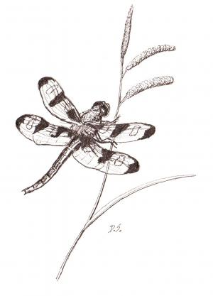 Drawing of a dragon fly