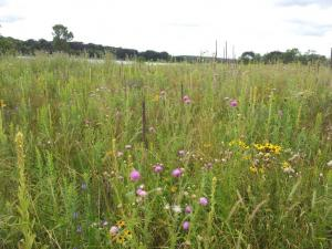Thistles growing in a native grass/forb planting