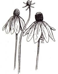 Coneflower illustration: credit Dan Shaw