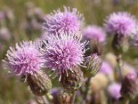 Canada thistle seed head