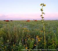 Cattle grazing prairie