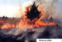 Eastern red cedar in prescribed fire