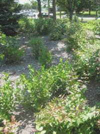 Image of Vegetation Establishment and Maintenance Stormwater Projects Shurbs