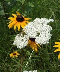 Yarrow and Black-eyed Susan