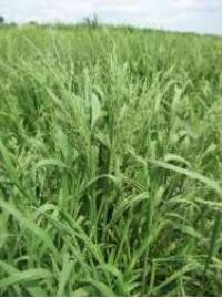 Slough grass